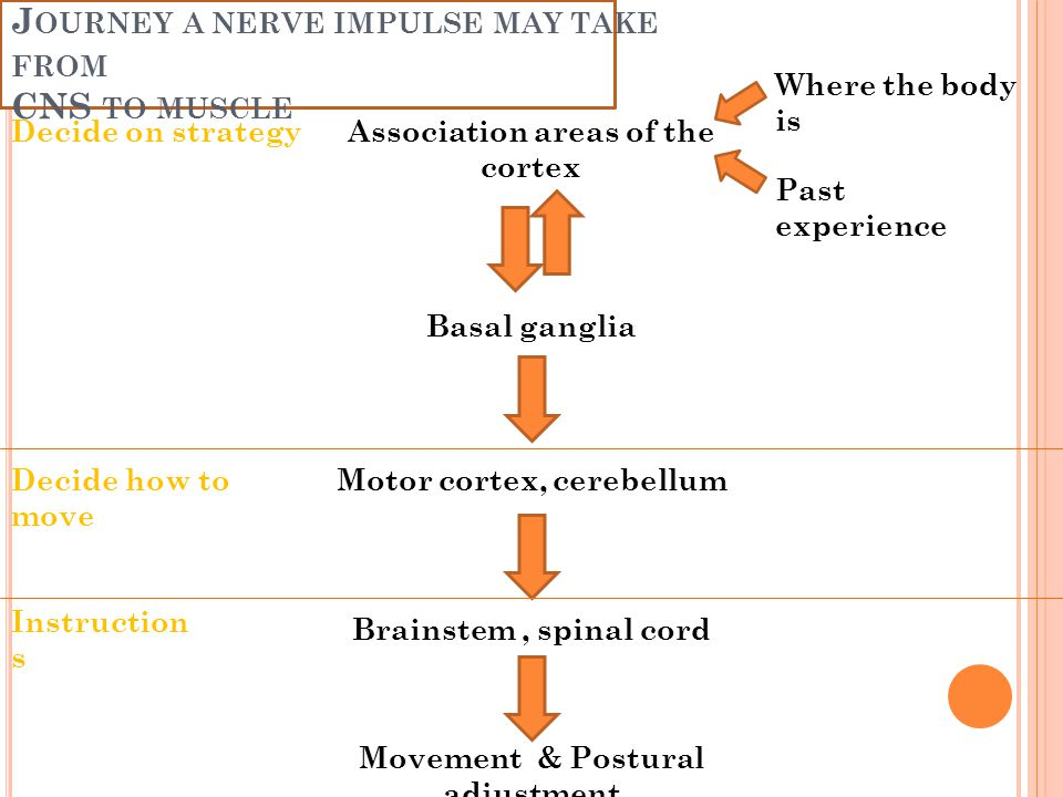 J OURNEY A NERVE IMPULSE MAY TAKE FROM CNS TO MUSCLE Association areas of the cortex Basal ganglia Motor cortex, cerebellum Brainstem, spinal cord Mov