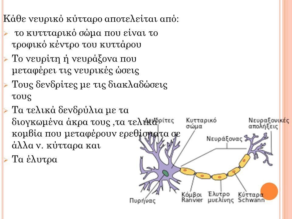 Κάθε νευρικό κύτταρο αποτελείται από:  το κυττταρικό σώμα που είναι το τροφικό κέντρο του κυττάρου  Το νευρίτη ή νευράξονα που μεταφέρει τις νευρικέ