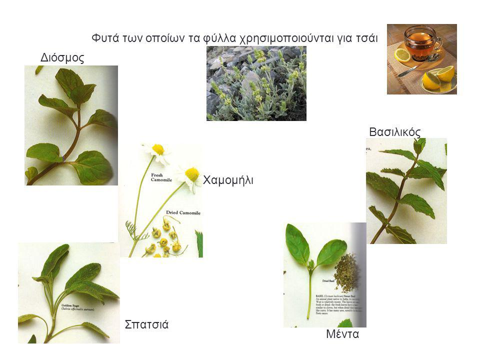 Διόσμος Βασιλικός Σπατσιά Μέντα Φυτά των οποίων τα φύλλα χρησιμοποιούνται για τσάι Χαμομήλι