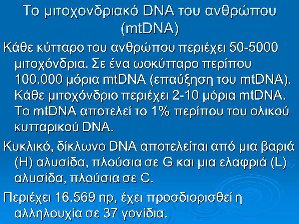 Το μιτοχονδριακό DNA του ανθρώπου (mtDNA) Κάθε κύτταρο του ανθρώπου περιέχει 50-5000 μιτοχόνδρια.