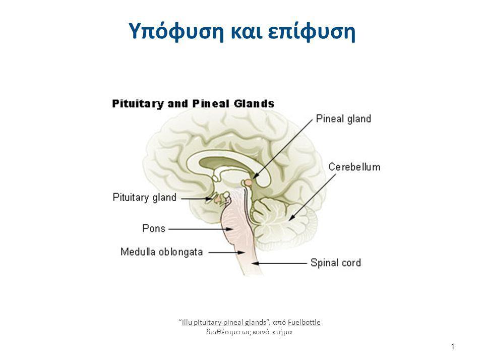 Ανατομικές σχέσεις της υπόφυσης Hypophyseal gland από Anatomist90 διαθέσιμη με άδεια CC BY-SA 3.0Hypophyseal glandAnatomist90CC BY-SA 3.0 2