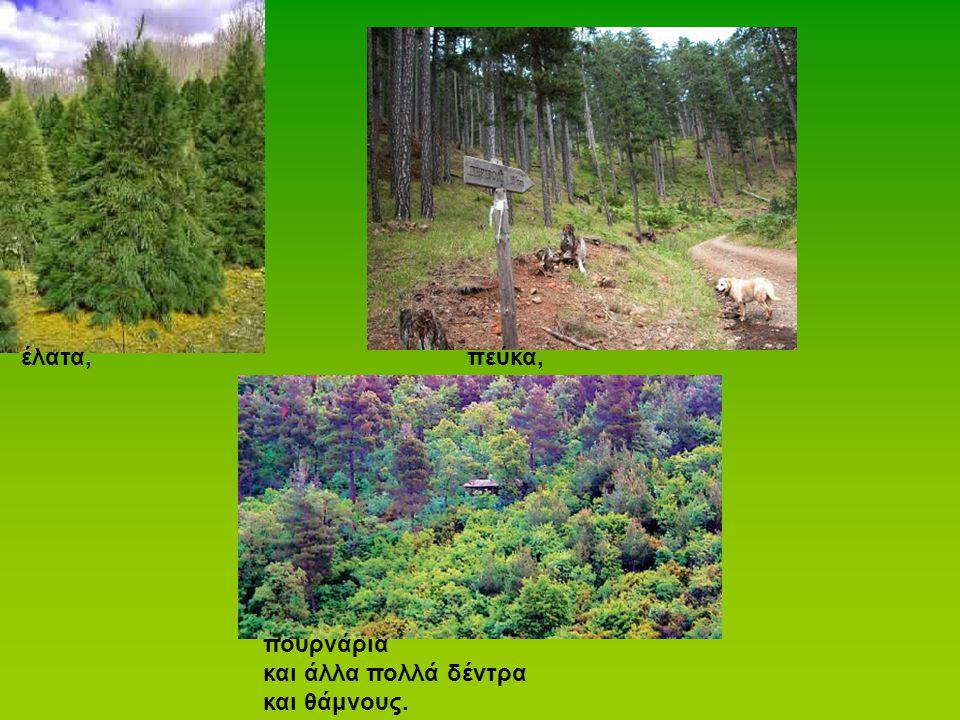 έλατα,πεύκα, πουρνάρια και άλλα πολλά δέντρα και θάμνους.