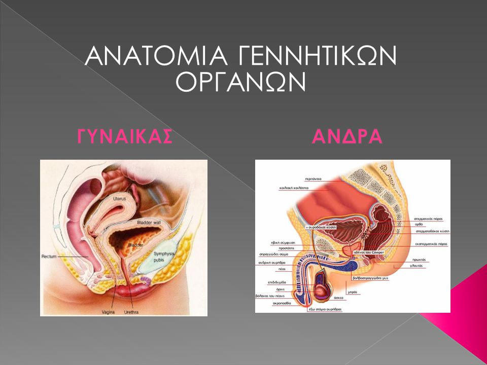 ΑΝΑΤΟΜΙΑ ΓΕΝΝΗΤΙΚΩΝ ΟΡΓΑΝΩΝ