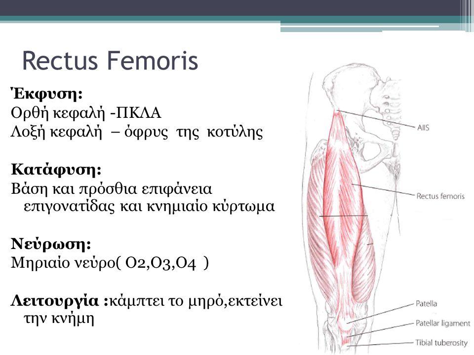 Έκφυση: Ορθή κεφαλή -ΠΚΛΑ Λοξή κεφαλή – όφρυς της κοτύλης Κατάφυση: Βάση και πρόσθια επιφάνεια επιγονατίδας και κνημιαίο κύρτωμα Νεύρωση: Μηριαίο νεύρ