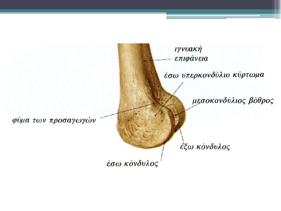 The Lateral Meniscus Ο έξω μηνίσκος είναι μικρότερος πιο ευκίνητος από τον έσω και πιο κυκλικός στην όψη.