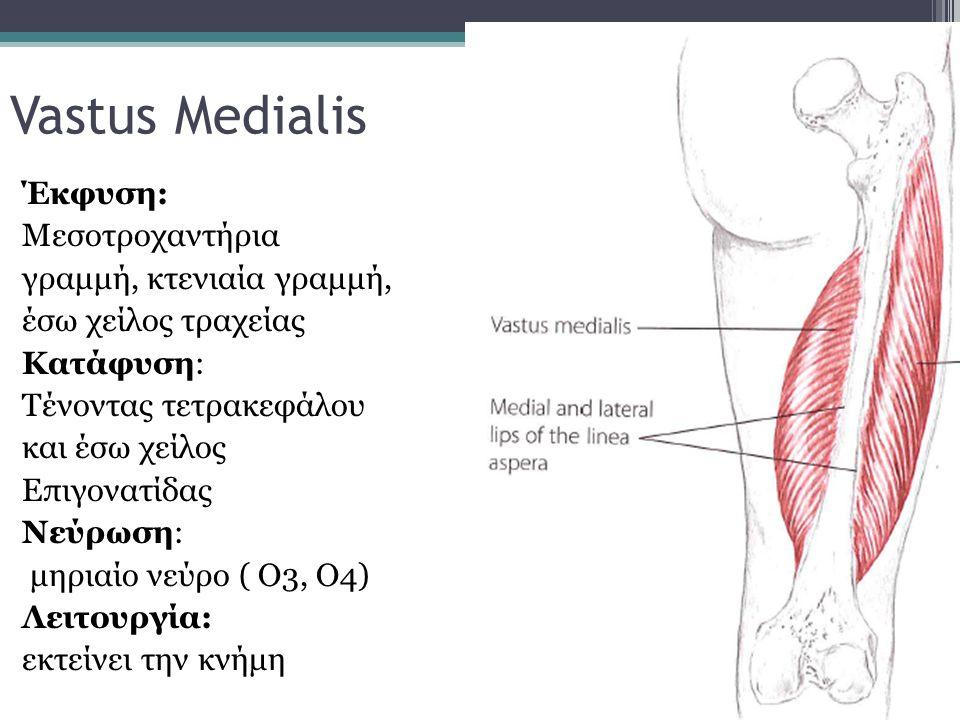 Vastus Medialis Έκφυση: Μεσοτροχαντήρια γραμμή, κτενιαία γραμμή, έσω χείλος τραχείας Κατάφυση: Τένοντας τετρακεφάλου και έσω χείλος Επιγονατίδας Νεύρω