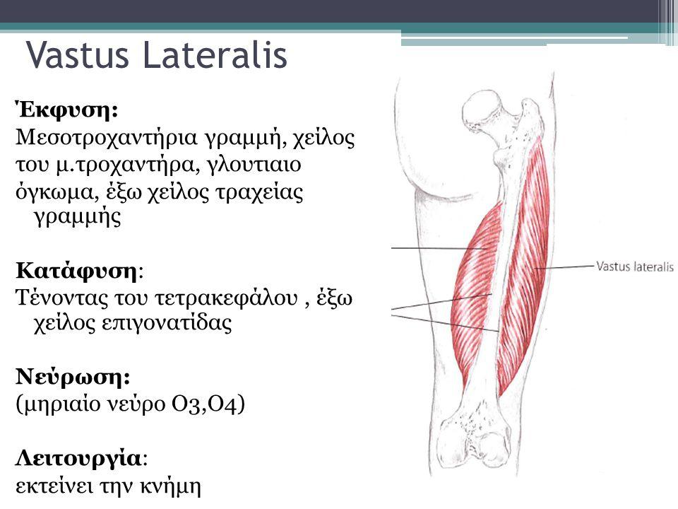 Vastus Lateralis Έκφυση: Μεσοτροχαντήρια γραμμή, χείλος του μ.τροχαντήρα, γλουτιαιο όγκωμα, έξω χείλος τραχείας γραμμής Κατάφυση: Τένοντας του τετρακε