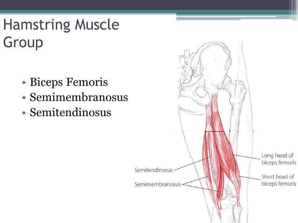 Hamstring Muscle Group Biceps Femoris Semimembranosus Semitendinosus
