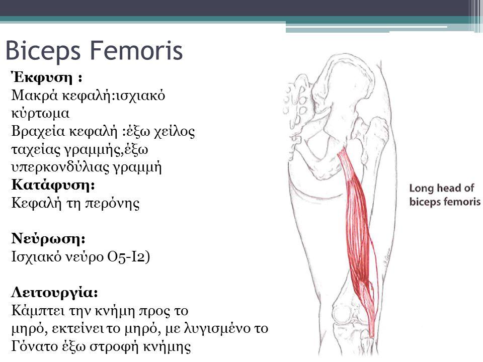 Biceps Femoris Έκφυση : Μακρά κεφαλή:ισχιακό κύρτωμα Βραχεία κεφαλή :έξω χείλος ταχείας γραμμής,έξω υπερκονδύλιας γραμμή Κατάφυση: Κεφαλή τη περόνης Ν