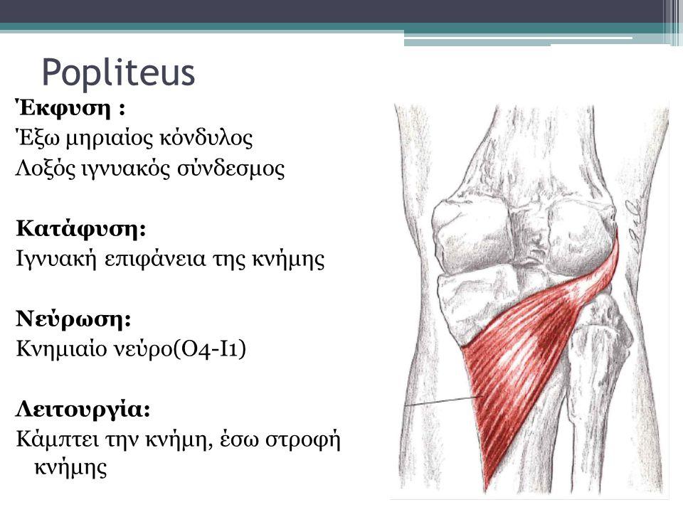 Popliteus Έκφυση : Έξω μηριαίος κόνδυλος Λοξός ιγνυακός σύνδεσμος Κατάφυση: Ιγνυακή επιφάνεια της κνήμης Νεύρωση: Κνημιαίο νεύρο(Ο4-Ι1) Λειτουργία: Κά