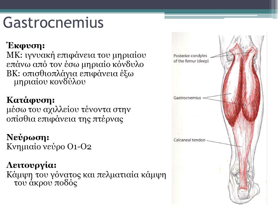 Gastrocnemius Έκφυση: ΜΚ: ιγνυακή επιφάνεια του μηριαίου επάνω από τον έσω μηριαίο κόνδυλο ΒΚ: οπισθιοπλάγια επιφάνεια έξω μηριαίου κονδύλου Κατάφυση: