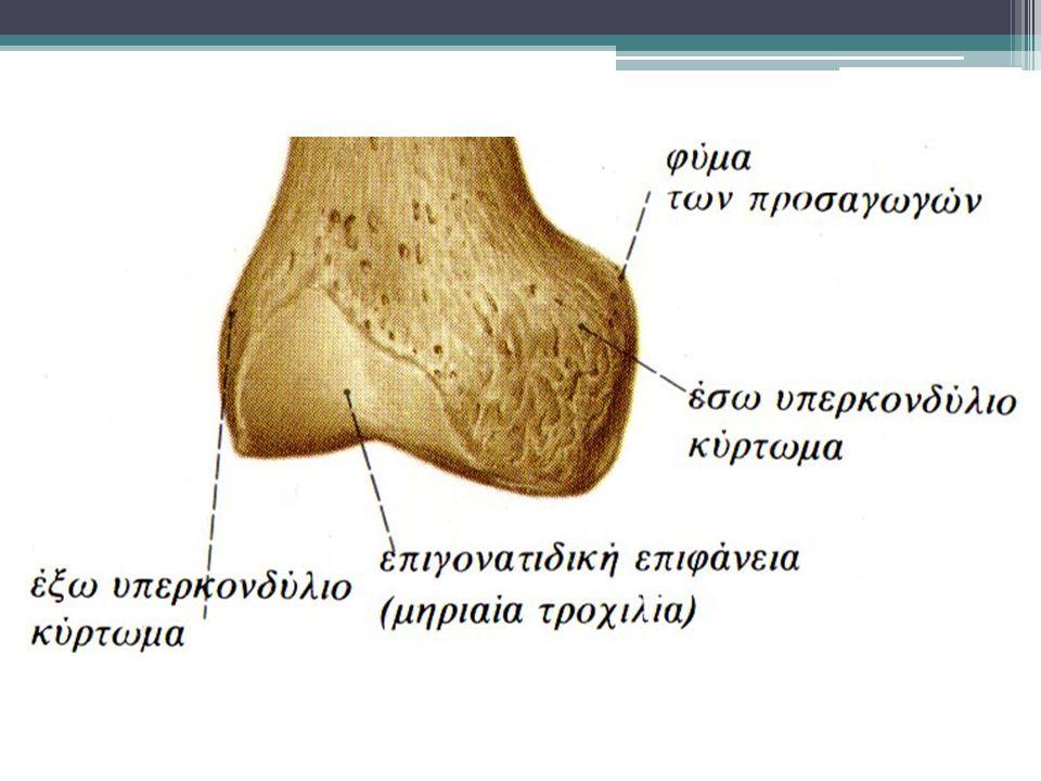 Περόνη Το άνω άκρο της ( κεφαλή) συντάσσεται με την κνήμη Το κάτω άκρο της κατεβαίνει χαμηλότερα της επίφυσης της κνήμης και καταλήγει στο έξω σφυρό ( ΠΔΚ)