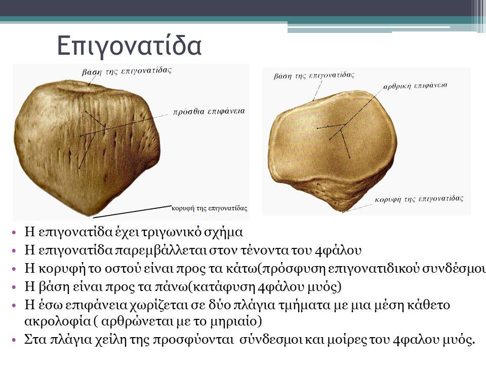 Vastus Intermedius Έκφυση: Άνω 2/3 της πρόσθιας και έξω επιφάνειας του μηριαίου Κατάφυση: Τένοντας του τετρακεφάλου μηριαίου και έξω χείλος επιγονατίδας Εν τω βάθει μυς Νευρωση : Μηριαίο νεύρο(Ο3,Ο4) Λειτουργία: εκτείνει την κνήμη