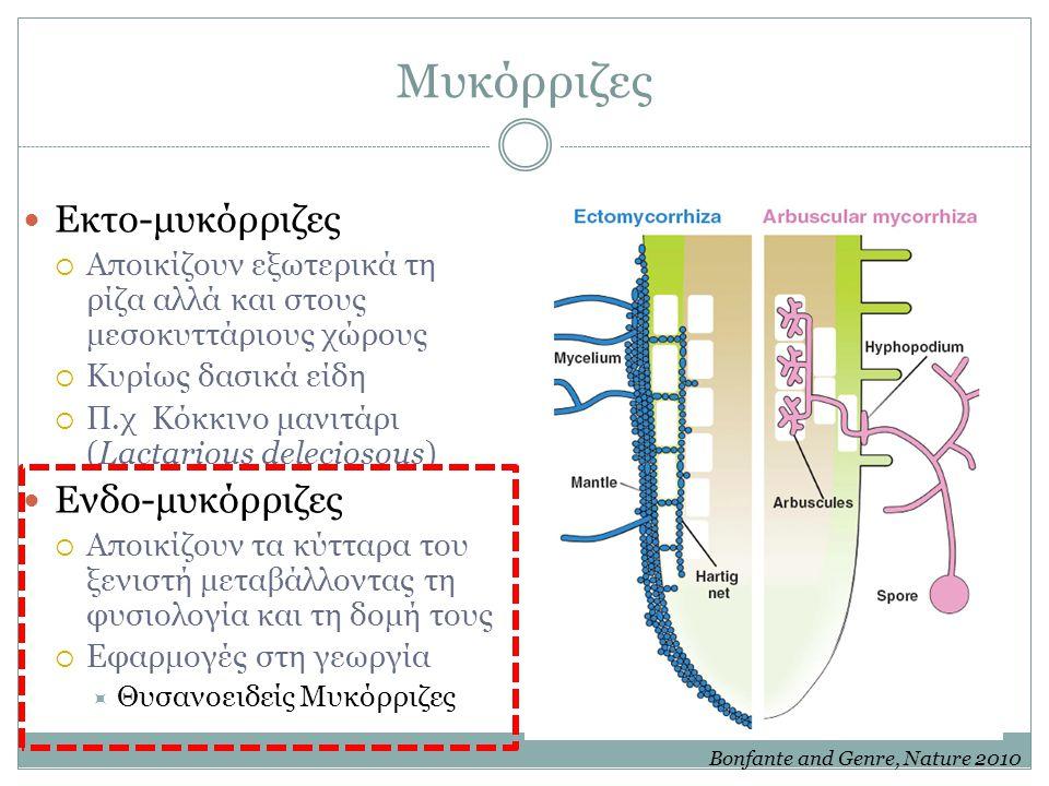 Μυκόρριζες Εκτο-μυκόρριζες  Αποικίζουν εξωτερικά τη ρίζα αλλά και στους μεσοκυττάριους χώρους  Κυρίως δασικά είδη  Π.χ Κόκκινο μανιτάρι (Lactarious deleciosous) Ενδο-μυκόρριζες  Αποικίζουν τα κύτταρα του ξενιστή μεταβάλλοντας τη φυσιολογία και τη δομή τους  Εφαρμογές στη γεωργία  Θυσανοειδείς Μυκόρριζες Bonfante and Genre, Nature 2010