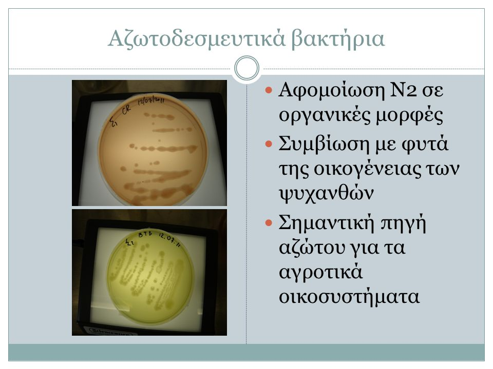 Αζωτοδεσμευτικά βακτήρια Αφομοίωση Ν2 σε οργανικές μορφές Συμβίωση με φυτά της οικογένειας των ψυχανθών Σημαντική πηγή αζώτου για τα αγροτικά οικοσυστήματα