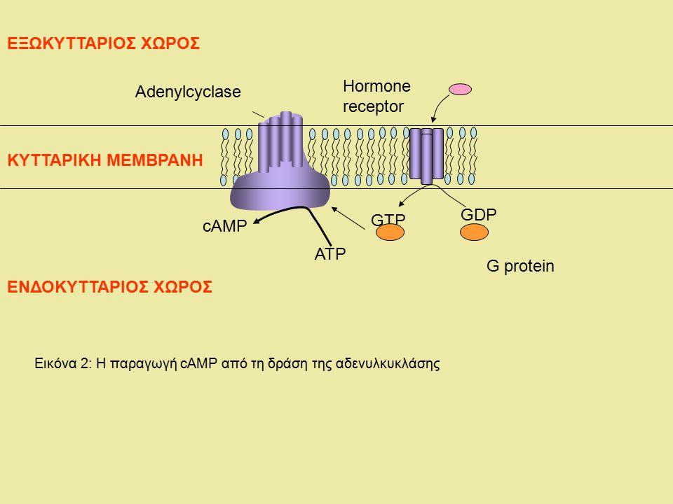 Adenylcyclase Hormone receptor GDP GTP ATP cAMP G protein ΕΝΔΟΚΥΤΤΑΡΙΟΣ ΧΩΡΟΣ ΕΞΩΚΥΤΤΑΡΙΟΣ ΧΩΡΟΣ ΚΥΤΤΑΡΙΚΗ ΜΕΜΒΡΑΝΗ Εικόνα 2: Η παραγωγή cAMP από τη δ
