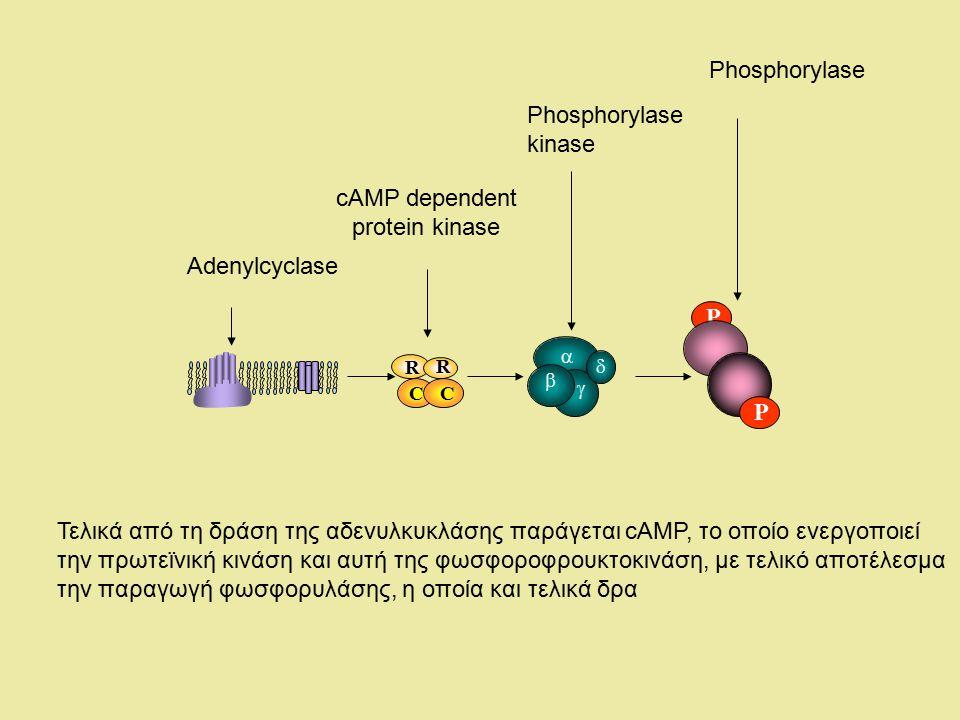 P CC R R     P Τελικά από τη δράση της αδενυλκυκλάσης παράγεται cAMP, το οποίο ενεργοποιεί την πρωτεϊνική κινάση και αυτή της φωσφοροφρουκτοκινάση