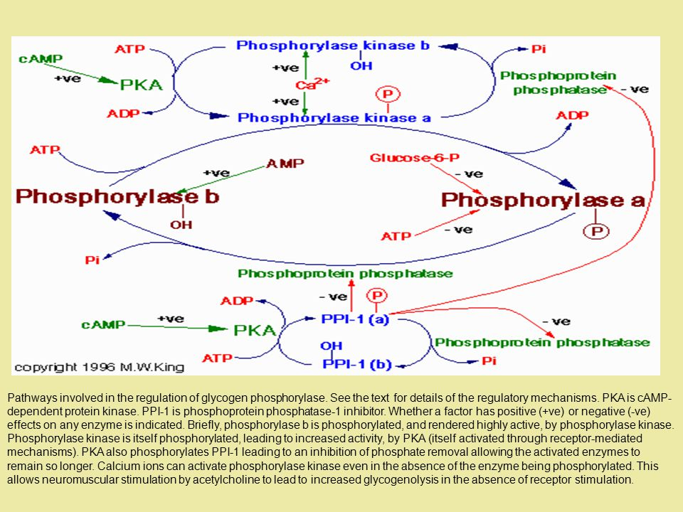 Pathways involved in the regulation of glycogen phosphorylase.