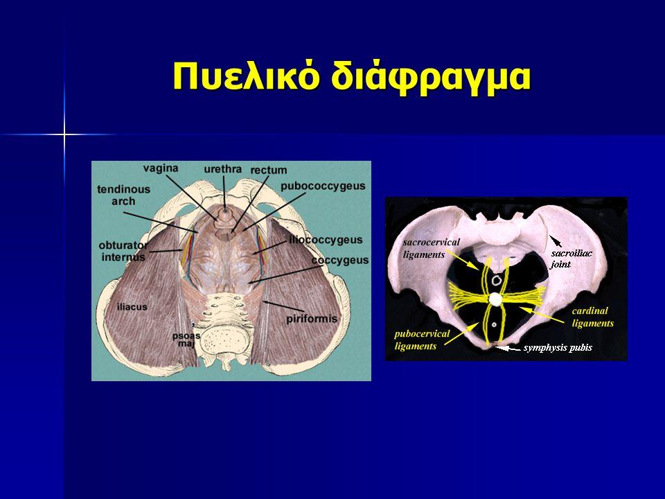 Ανελκτήρας μυς του πρωκτού Ηβοκοκκυγικός μυς Ηβοουρηθρικός Ηβοκολπικός Ηβοσπλαχνικοί ΗβοπρωκτικόςΗβοορθικός - Ισχιοκοκκυγικός μυς