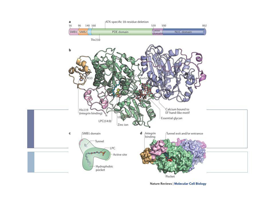 Οι PDEs αποτελούν μέλη μιας υπεροικογένειας ισοενζύμων που υποδιαιρείται σε 9 ή πιθανόν 11 υπο - οικογένειες  εντοπίζονται στο διαλυτό κυτοσολικό κλάσμα των περισσοτέρων ιστών  αναστέλλονται από την καφεϊνη και την θεοφυλλίνη,  ενισχύοντας το αποτέλεσμα της δράσης της επινεφρίνης  η δράση εξαρτάται από την παρουσία ιόντων Mg & Zn  σε μερικούς ιστούς η παρουσία των ιόντων ασβεστίου τροποποιεί τη δράση Διακρίνονται με βάση :  Την εξειδίκευση υποστρώματος  Την συγγένεια  Την ευαισθησία σε co- factors  Την ομοιότητα και ευαισθησία σε ανάλογα φάρμακα