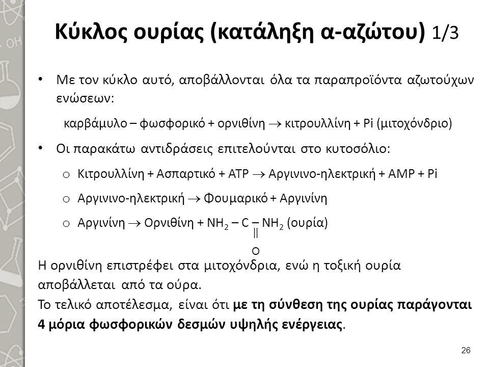 Κύκλος ουρίας (κατάληξη α-αζώτου) 1/3 Με τον κύκλο αυτό, αποβάλλονται όλα τα παραπροϊόντα αζωτούχων ενώσεων: καρβάμυλο – φωσφορικό + ορνιθίνη  κιτρουλλίνη + Pi (μιτοχόνδριο) Οι παρακάτω αντιδράσεις επιτελούνται στο κυτοσόλιο: o Κιτρουλλίνη + Ασπαρτικό + ΑΤΡ  Αργινινο-ηλεκτρική + ΑΜΡ + Ρi o Αργινινο-ηλεκτρική  Φουμαρικό + Αργινίνη o Αργινίνη  Ορνιθίνη + NH 2 – C – NH 2 (ουρία) Η ορνιθίνη επιστρέφει στα μιτοχόνδρια, ενώ η τοξική ουρία αποβάλλεται από τα ούρα.
