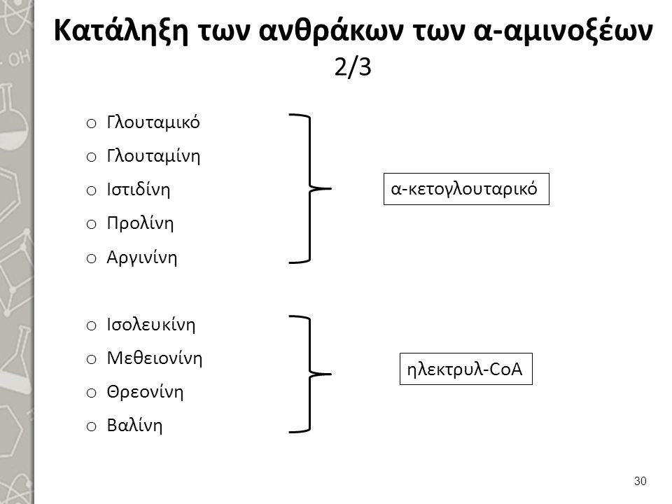 Κατάληξη των ανθράκων των α-αμινοξέων 2/3 o Γλουταμικό o Γλουταμίνη o Ιστιδίνη o Προλίνη o Αργινίνη o Ισολευκίνη o Μεθειονίνη o Θρεονίνη o Βαλίνη 30 α-κετογλουταρικό ηλεκτρυλ-CoΑ