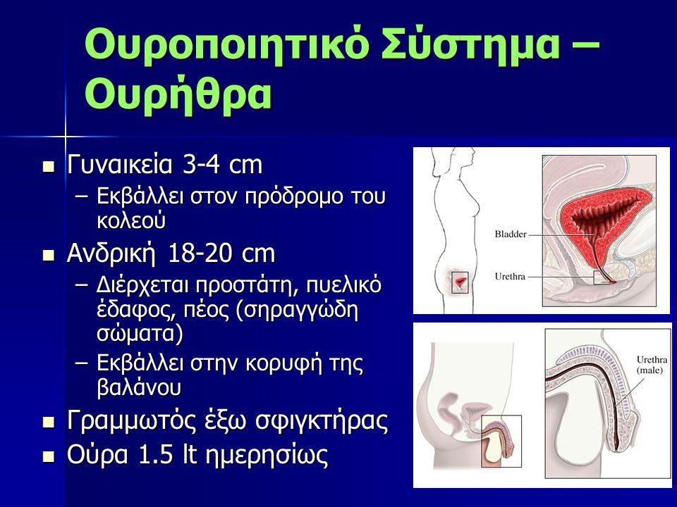 Γυναικεία 3-4 cm Γυναικεία 3-4 cm –Εκβάλλει στον πρόδρομο του κολεού Ανδρική 18-20 cm Ανδρική 18-20 cm –Διέρχεται προστάτη, πυελικό έδαφος, πέος (σηρα