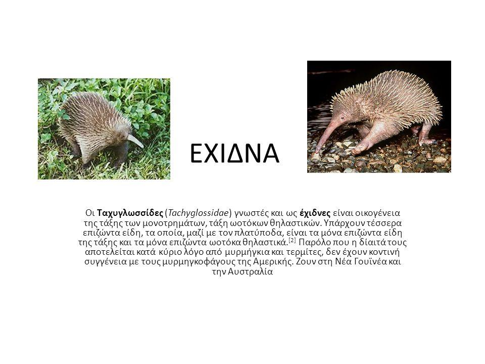 ΕΧΙΔΝΑ Οι Ταχυγλωσσίδες (Tachyglossidae) γνωστές και ως έχιδνες είναι οικογένεια της τάξης των μονοτρημάτων, τάξη ωοτόκων θηλαστικών. Υπάρχουν τέσσερα