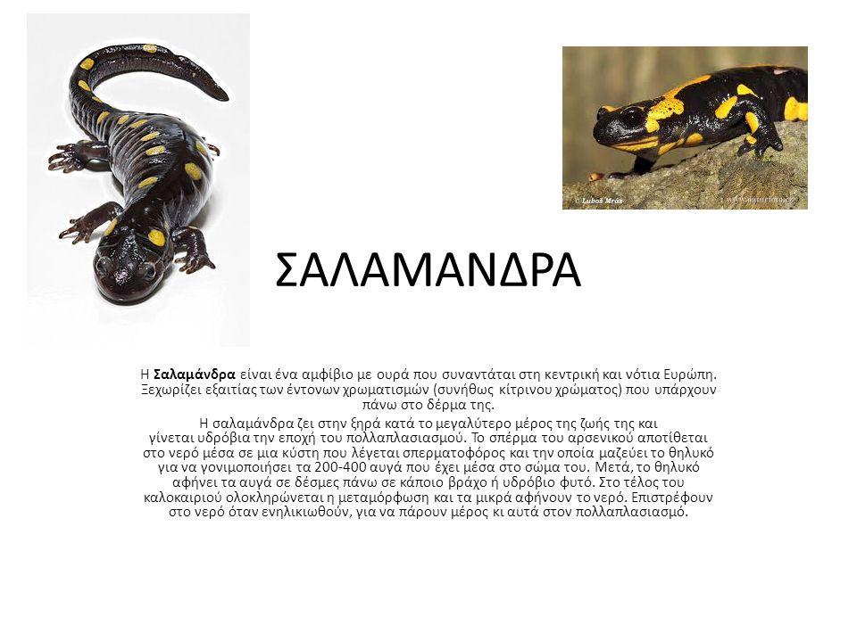 ΣΑΛΑΜΑΝΔΡΑ Η Σαλαμάνδρα είναι ένα αμφίβιο με ουρά που συναντάται στη κεντρική και νότια Ευρώπη. Ξεχωρίζει εξαιτίας των έντονων χρωματισμών (συνήθως κί