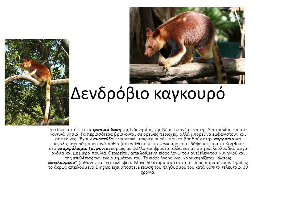 Δενδρόβιο καγκουρό Το είδος αυτό ζει στα τροπικά δάση της Ινδονησίας, της Νέας Γουινέας και της Αυστραλίας και στα κοντινά νησιά. Τα περισσότερα βρίσκ