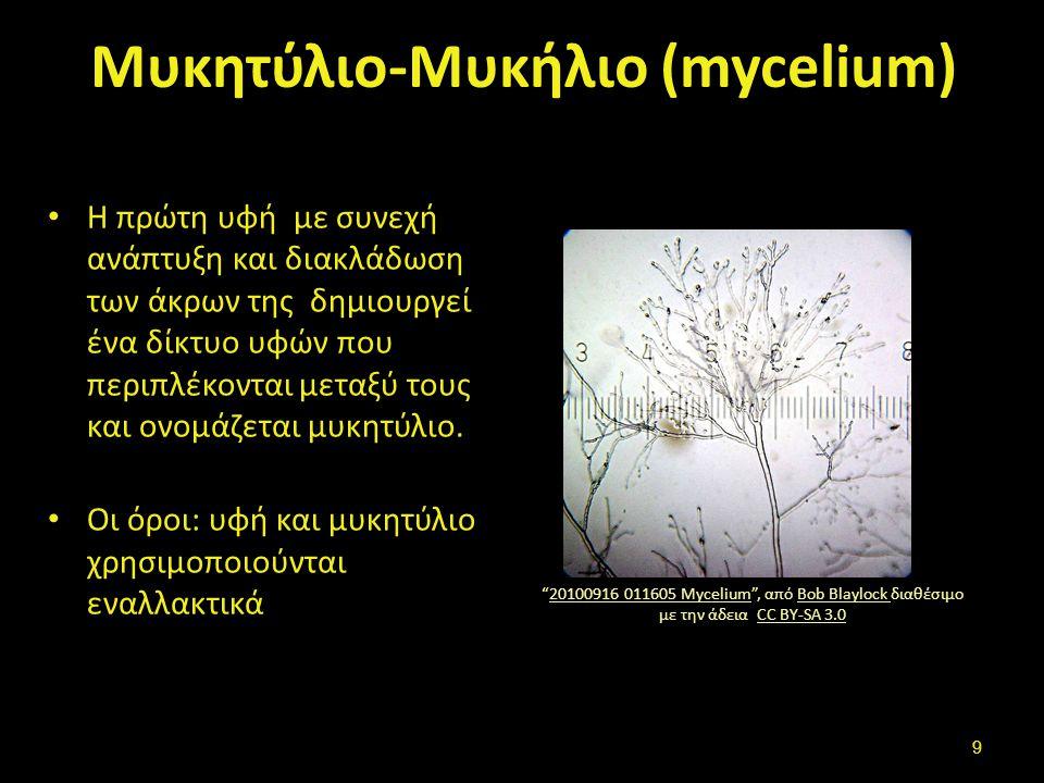 Μυκητύλιο-Μυκήλιο (mycelium) Η πρώτη υφή με συνεχή ανάπτυξη και διακλάδωση των άκρων της δημιουργεί ένα δίκτυο υφών που περιπλέκονται μεταξύ τους και