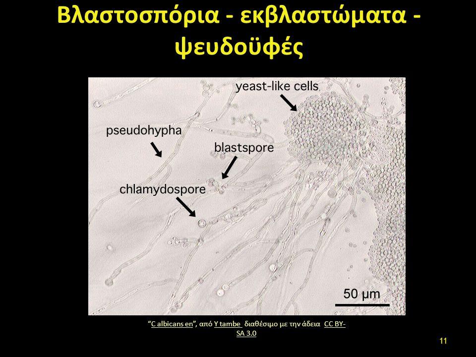 """Βλαστοσπόρια - εκβλαστώματα - ψευδοϋφές """"C albicans en"""", από Y tambe διαθέσιμο με την άδεια CC BY- SA 3.0C albicans enY tambe CC BY- SA 3.0 11"""