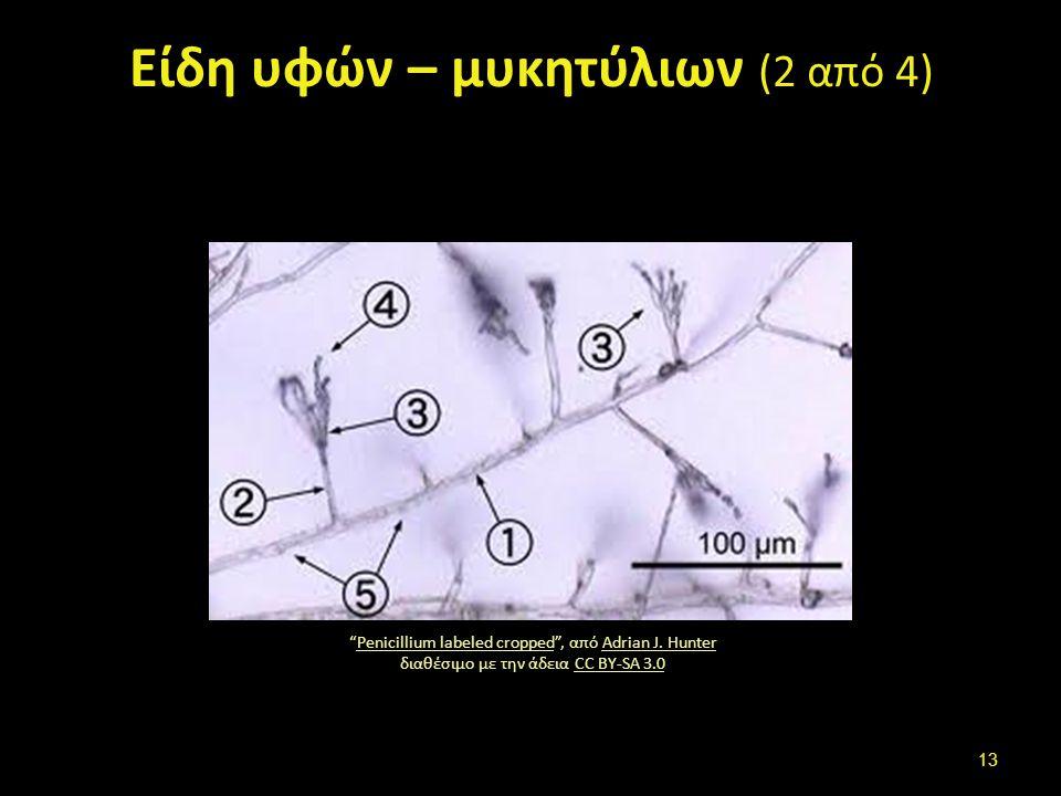 """Είδη υφών – μυκητύλιων (2 από 4) """"Penicillium labeled cropped"""", από Adrian J. Hunter διαθέσιμο με την άδεια CC BY-SA 3.0Penicillium labeled croppedAdr"""