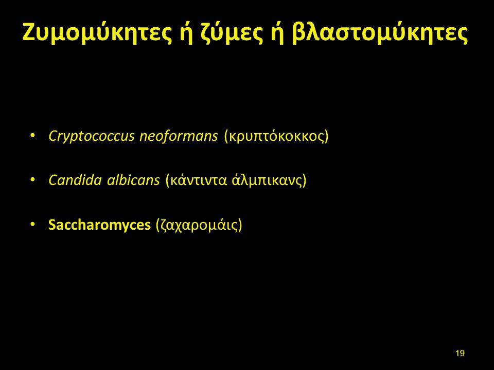 Ζυμομύκητες ή ζύμες ή βλαστoμύκητες Cryptococcus neoformans (κρυπτόκοκκος) Candida albicans (κάντιντα άλμπικανς) Saccharomyces (ζαχαρομάις) 19