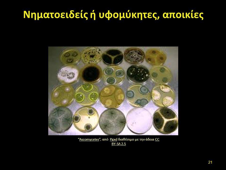"""Νηματοειδείς ή υφομύκητες, αποικίες """"Ascomycetes"""", από Pgxd διαθέσιμο με την άδεια CC BY-SA 2.5AscomycetesPgxdCC BY-SA 2.5 21"""