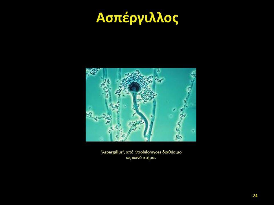 """Ασπέργιλλος """"Aspergillus"""", από Strobilomyces διαθέσιμο ως κοινό κτήμα.AspergillusStrobilomyces 24"""