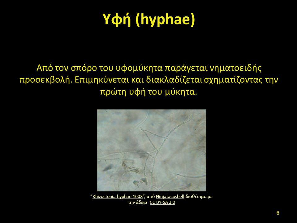 """Υφή (hyphae) Από τον σπόρο του υφομύκητα παράγεται νηματοειδής προσεκβολή. Επιμηκύνεται και διακλαδίζεται σχηματίζοντας την πρώτη υφή του μύκητα. """"Rhi"""