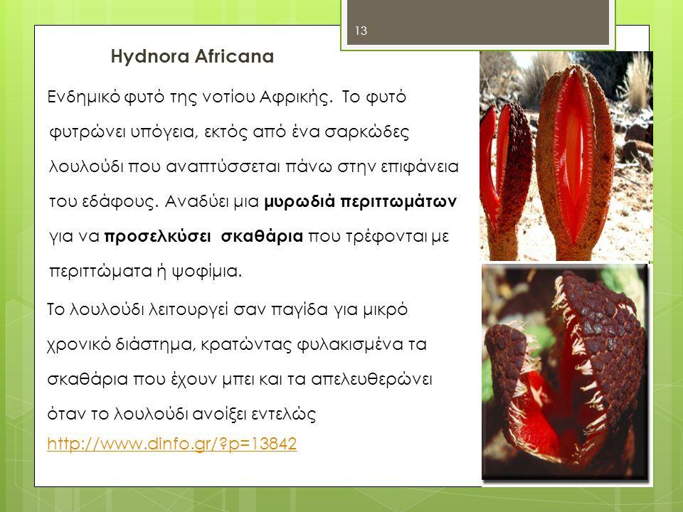 Hydnora Africana Ενδημικό φυτό της νοτίου Αφρικής.