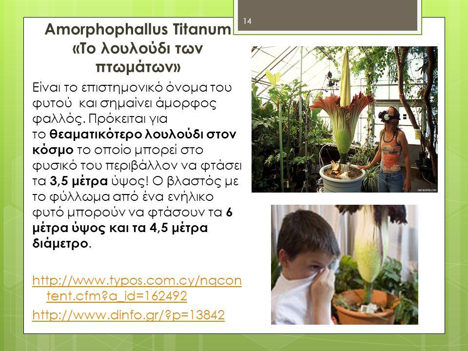 Amorphophallus Titanum «Το λουλούδι των πτωμάτων» Είναι το επιστημονικό όνομα του φυτού και σημαίνει άμορφος φαλλός.