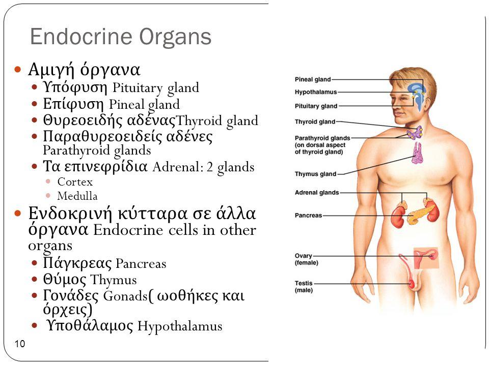 Endocrine Organs 10 Αμιγή όργανα Υπόφυση Pituitary gland Επίφυση Pineal gland Θυρεοειδής αδένας Thyroid gland Παραθυρεοειδείς αδένες Parathyroid gland