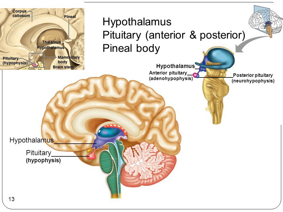 13 Pituitary__________ (hypophysis) Hypothalamus___________ Hypothalamus__ Anterior pituitary__ (adenohypophysis) _____________Posterior pituitary (ne
