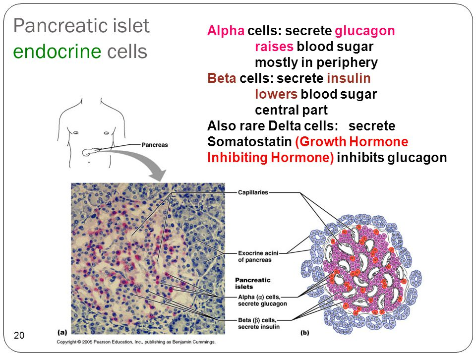 Pancreatic islet endocrine cells 20 Alpha cells: secrete glucagon raises blood sugar mostly in periphery Beta cells: secrete insulin lowers blood suga