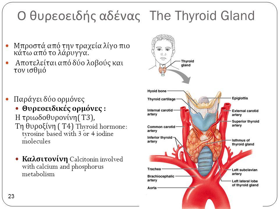Ο θυρεοειδής αδένας The Thyroid Gland 23 Μπροστά από την τραχεία λίγο πιο κάτω από το λάρυγγα. Αποτελείται από δύο λοβούς και τον ισθμό Παράγει δύο ορ