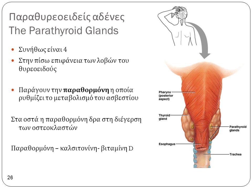 Παραθυρεοειδείς αδένες The Parathyroid Glands 26 Συνήθως είναι 4 Στην πίσω επιφάνεια των λοβών του θυρεοειδούς Παράγουν την παραθορμόνη η οποία ρυθμίζ