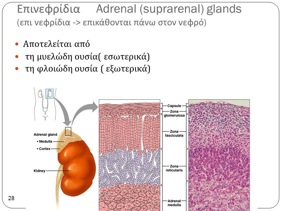 Επινεφρίδια Adrenal (suprarenal) glands ( επι νεφρίδια -> επικάθονται πάνω στον νεφρό ) 28 Αποτελείται από τη μυελώδη ουσία ( εσωτερικά ) τη φλοιώδη ο