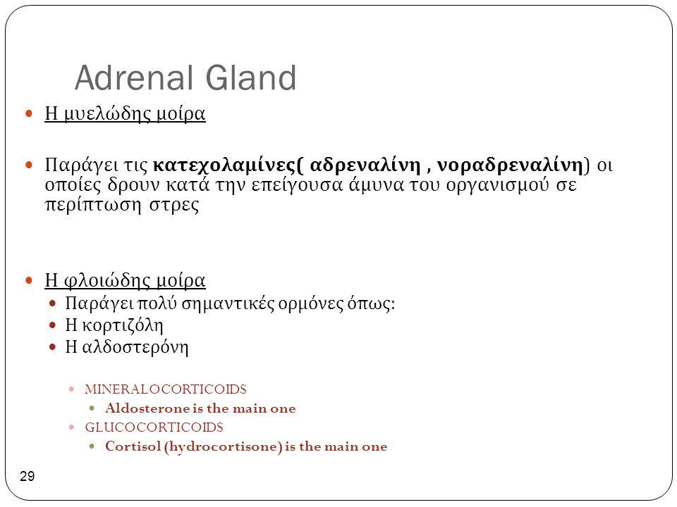 Adrenal Gland 29 Η μυελώδης μοίρα Παράγει τις κατεχολαμίνες ( αδρεναλίνη, νοραδρεναλίνη ) οι οποίες δρουν κατά την επείγουσα άμυνα του οργανισμού σε π