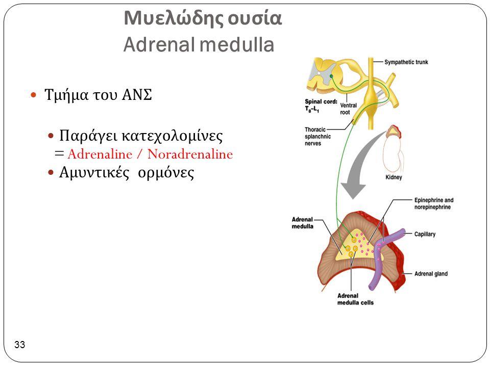 Μυελώδης ουσία Adrenal medulla 33 Τμήμα του ΑΝΣ Παράγει κατεχολομίνες = Adrenaline / Noradrenaline Αμυντικές ορμόνες