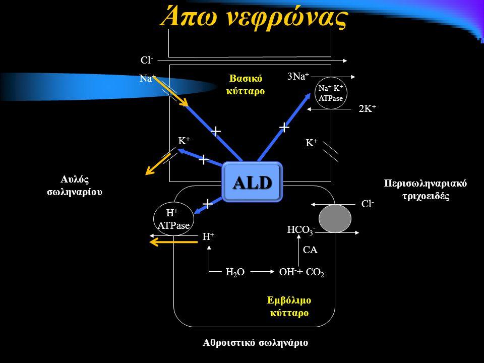 Na + -K + ATPase 3Na + 2K + Κ+Κ+ Κ+Κ+ Νa+Νa+ Cl - Βασικό κύτταρο H + ATPase H+H+ H2OH2O Cl - HCO 3 - OH - + CO 2 CA Αθροιστικό σωληνάριο Αυλός σωληναρίου Εμβόλιμο κύτταρο ALD + + + + Περισωληναριακό τριχοειδές Άπω νεφρώνας
