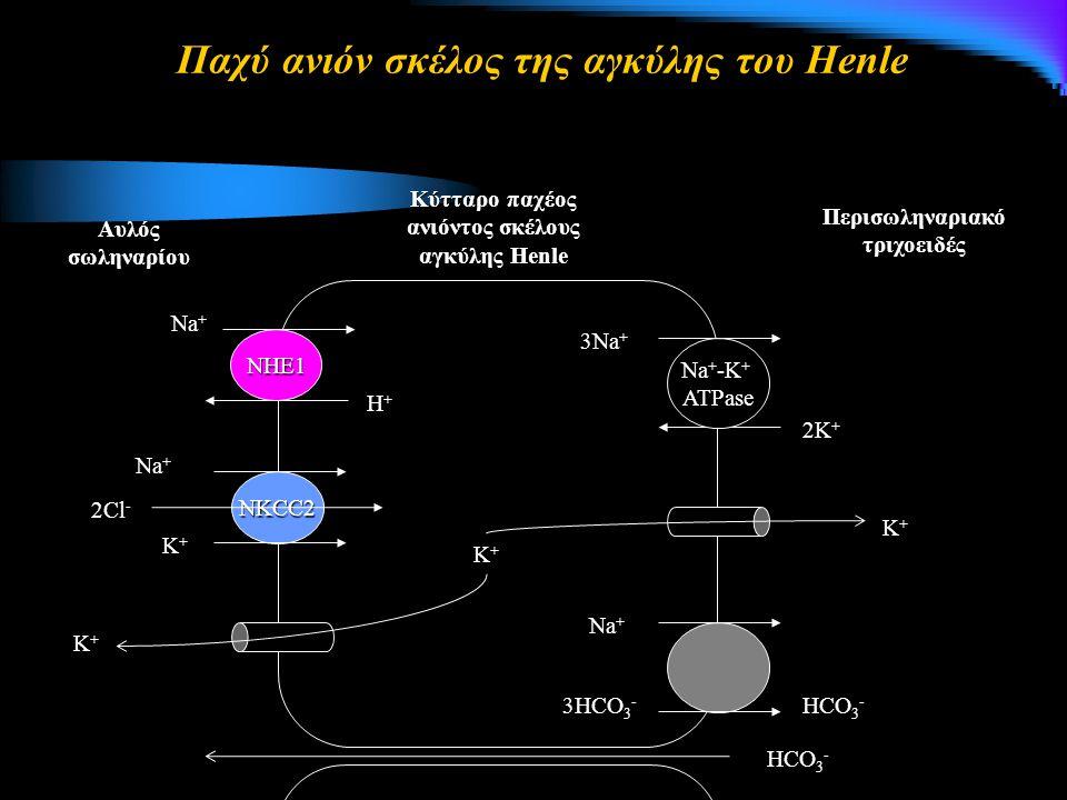 Παχύ ανιόν σκέλος της αγκύλης του Henle ΝΗΕ1 Na + 3Na + 2K + Na + -K + ATPase Περισωληναριακό τριχοειδές Κύτταρο παχέος ανιόντος σκέλους αγκύλης Henle Αυλός σωληναρίου Η+Η+Η+Η+ NKCC2 Na + 2Cl - Κ+Κ+Κ+Κ+ Κ+Κ+Κ+Κ+ Κ+Κ+Κ+Κ+ Κ+Κ+Κ+Κ+ Na + 3HCO 3 - HCO 3 -