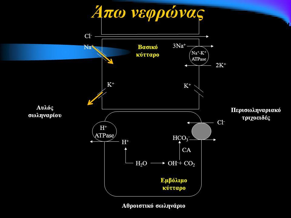 Na + -K + ATPase 3Na + 2K + Κ+Κ+ Κ+Κ+ Νa+Νa+ Cl - Βασικό κύτταρο H + ATPase H+H+ H2OH2O Cl - HCO 3 - OH - + CO 2 CA Αθροιστικό σωληνάριο Αυλός σωληναρίου Εμβόλιμο κύτταρο Περισωληναριακό τριχοειδές Άπω νεφρώνας